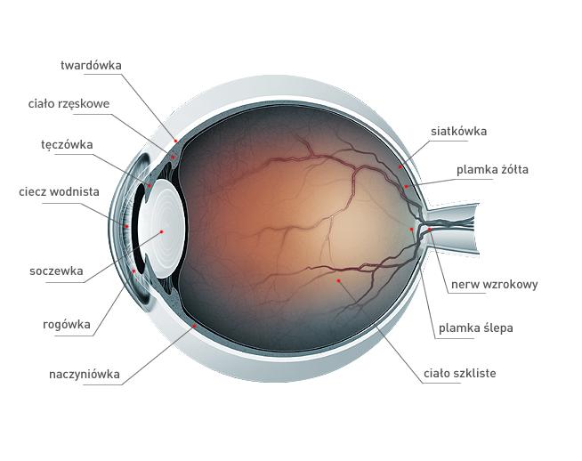 Badanie wzroku - budowa oka